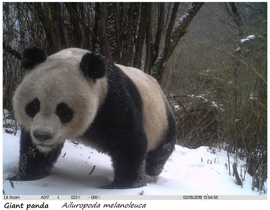 大熊猫 小.png