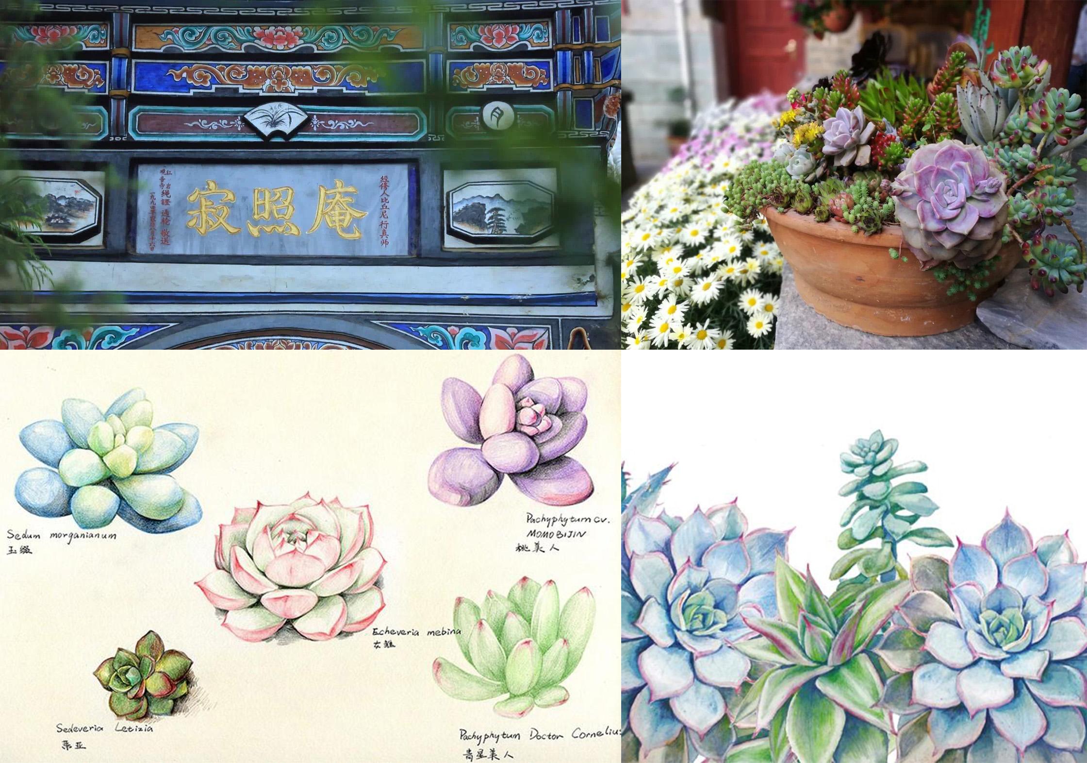 图14 寂照庵多肉植物及手绘 图片来源于网络.jpg