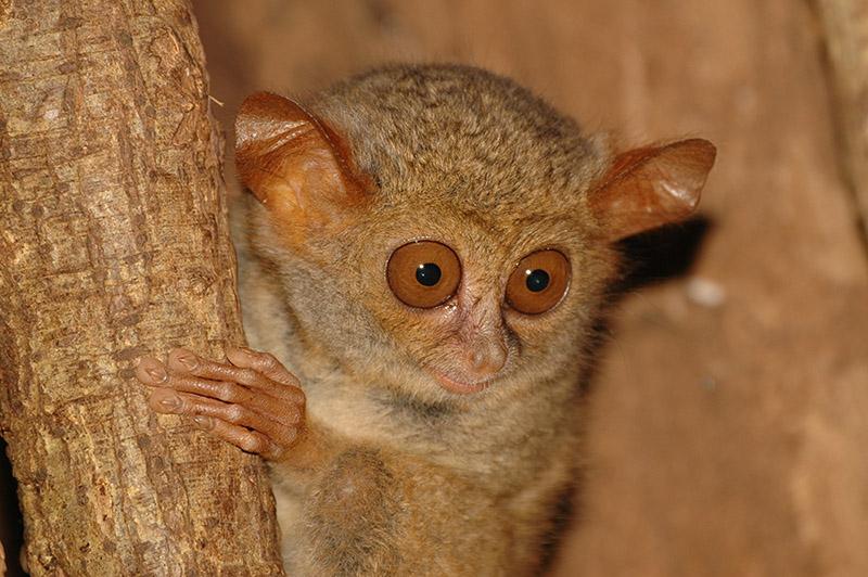 眼镜猴.jpg