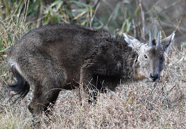 斑羚 (1).jpg