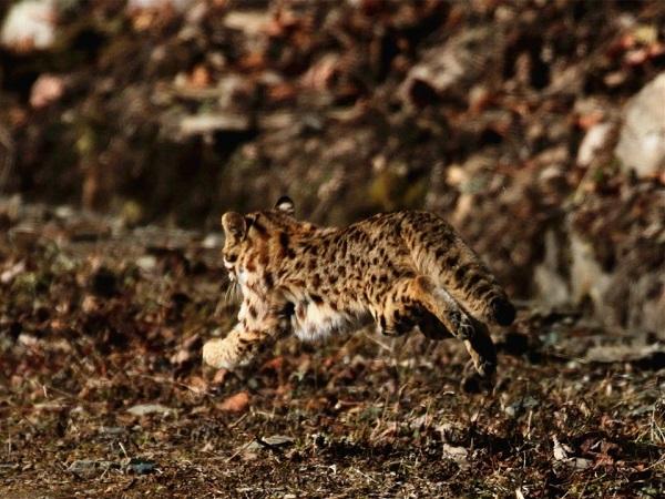 豹猫.jpg