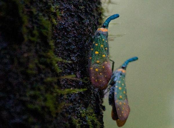 4Lantern Beetles, Danum Valley_gaitubao_com_.jpg