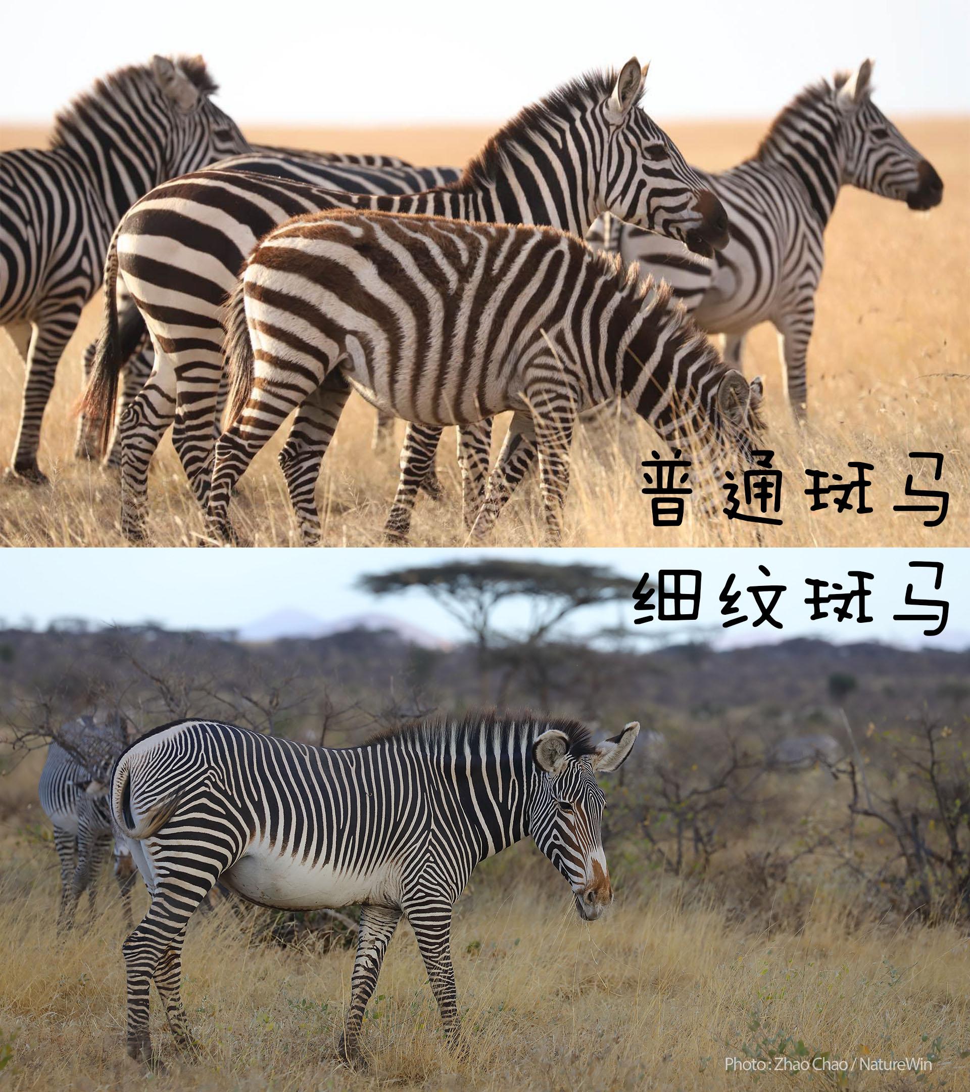 两种斑马.jpg