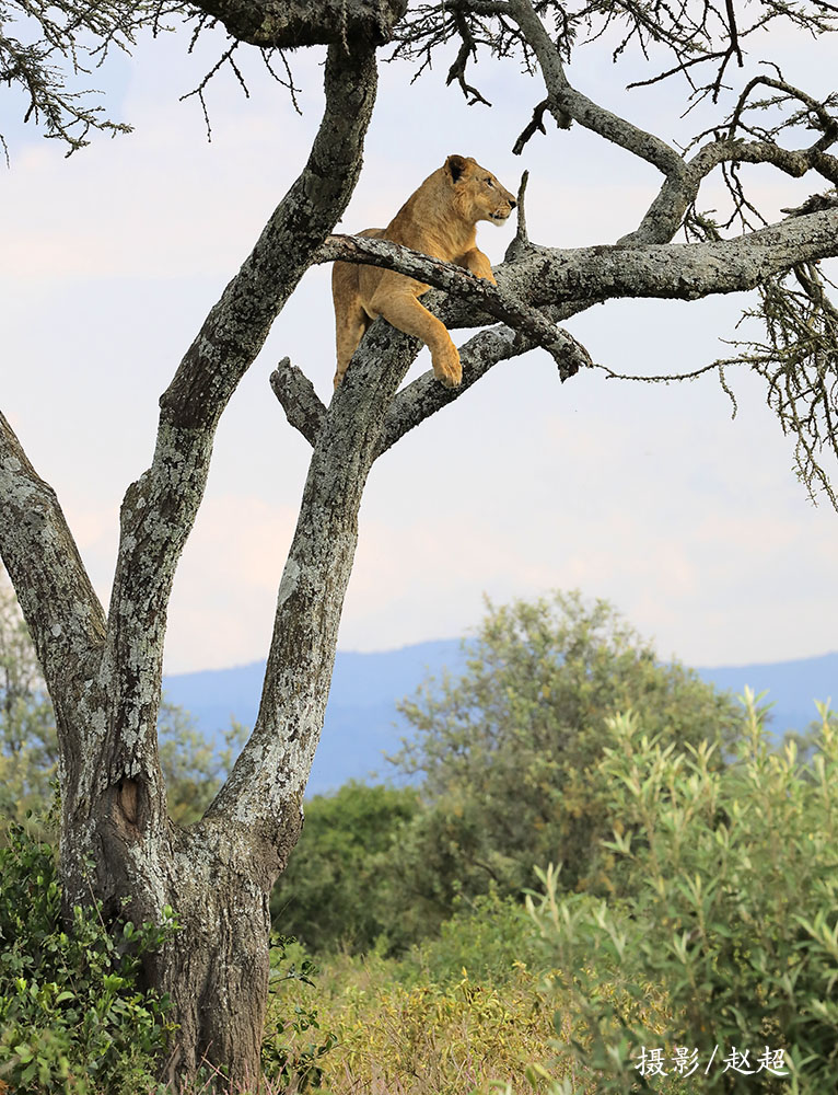 狮子在树上 纳库鲁副本.jpg