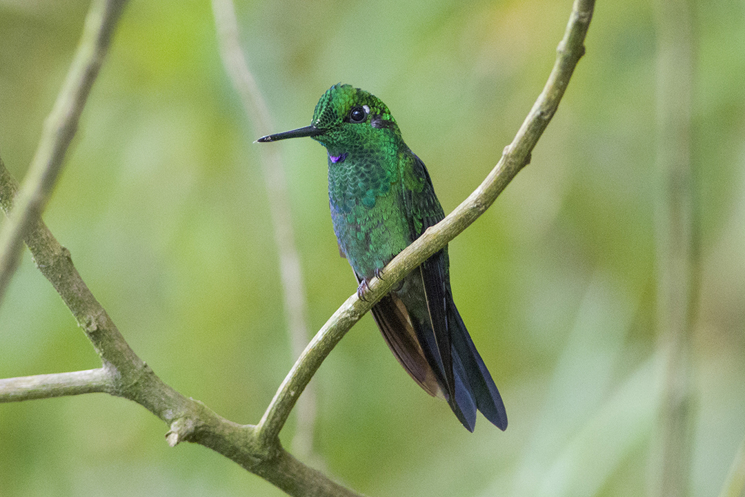 3、绿顶辉蜂鸟3(雄鸟)Green-crowned Brilliant.jpg