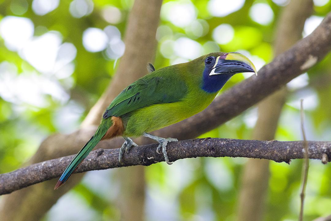 9、绿巨嘴鸟 Emerald Toucanet.jpg