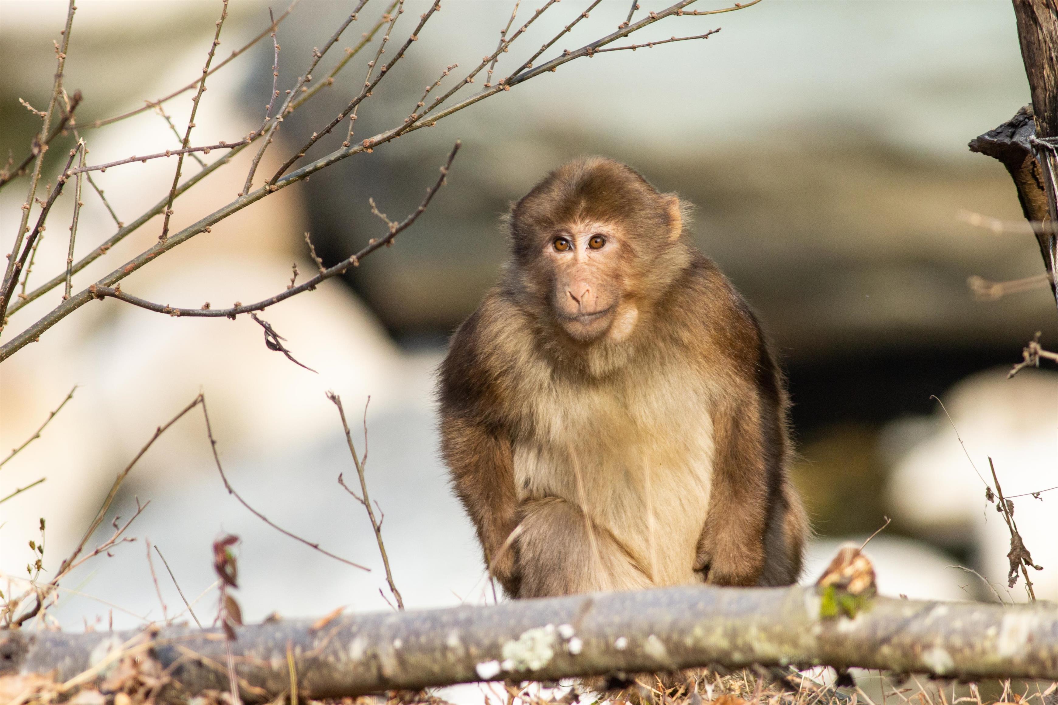 12. 藏酋猴.jpg