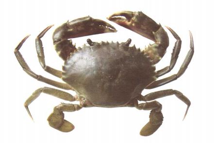 青蟹.png