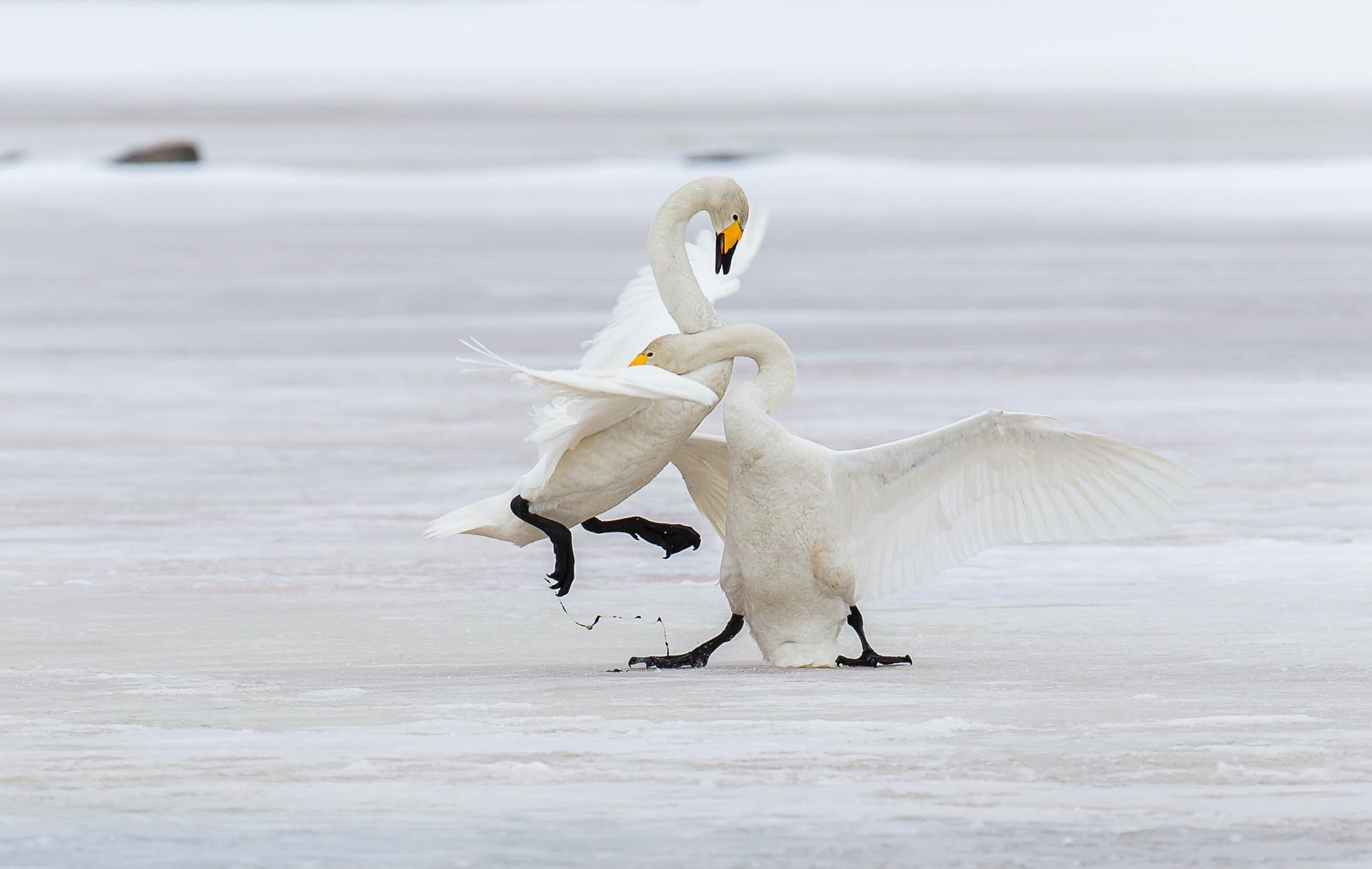 whooper-swans-7896-by-olli-lamminsalo_27523982926_o.jpg