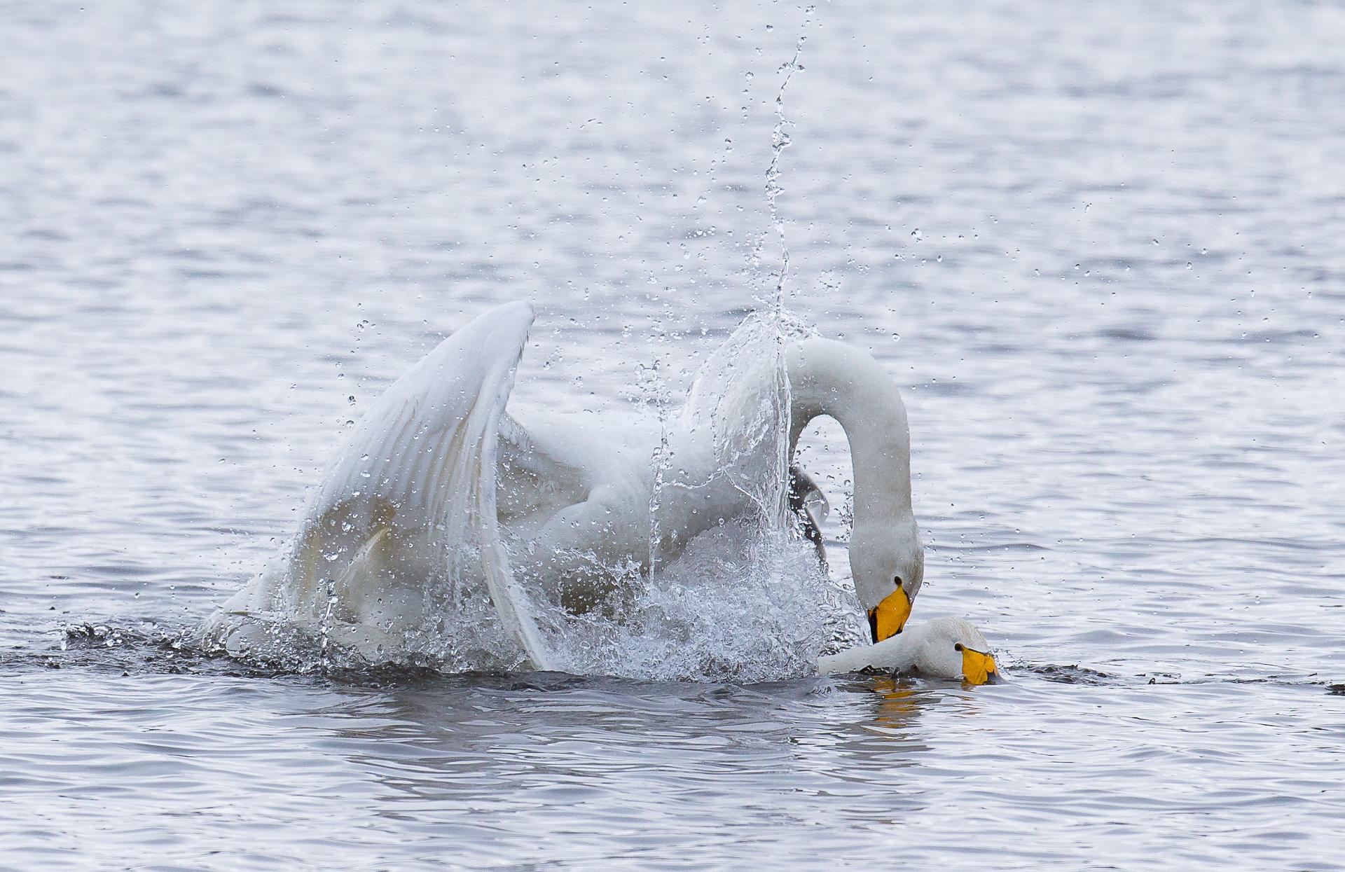 whooper-swans-7765-by-olli-lamminsalo_27485924091_o.jpg