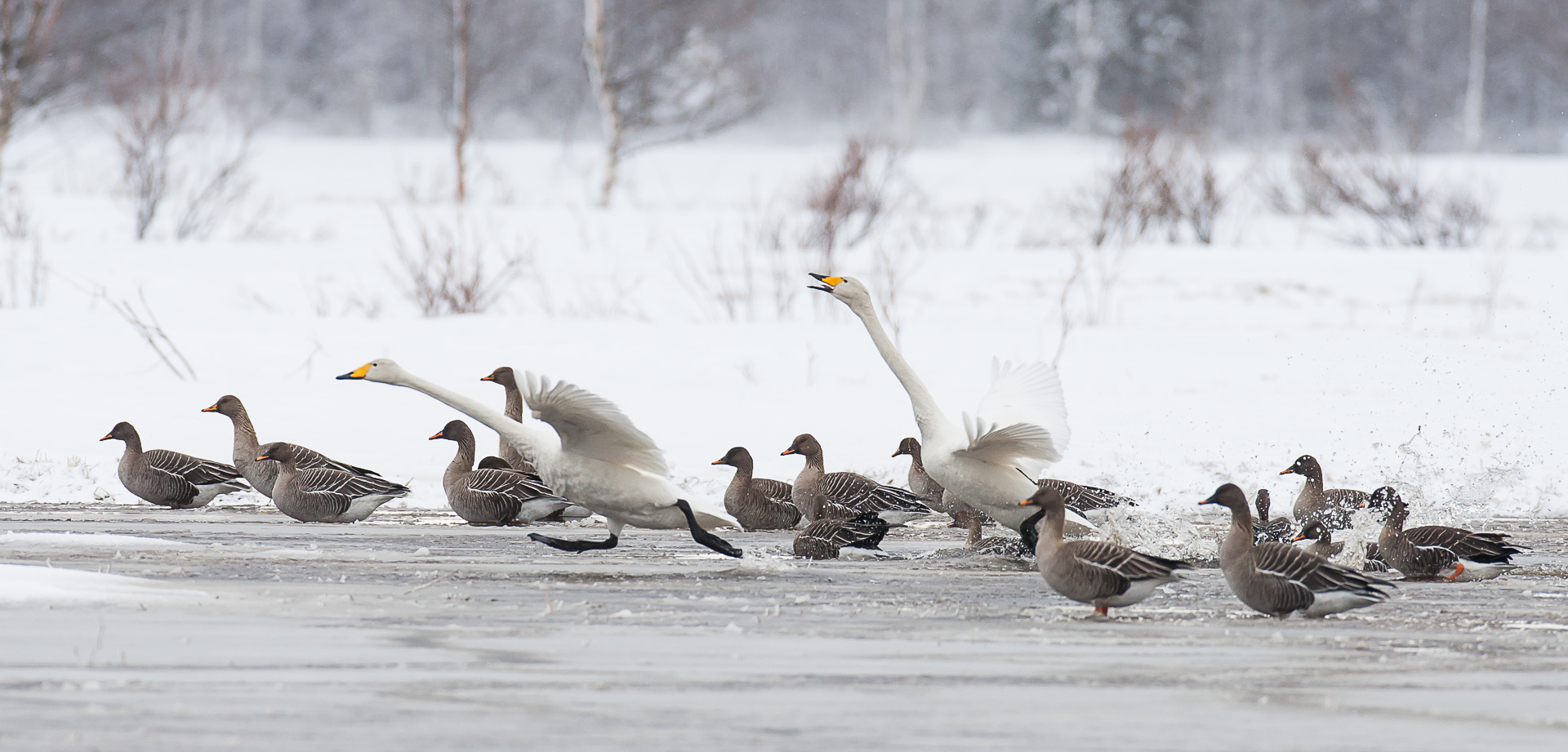 whooper-swans-6619-by-olli-lamminsalo_26948848974_o.jpg