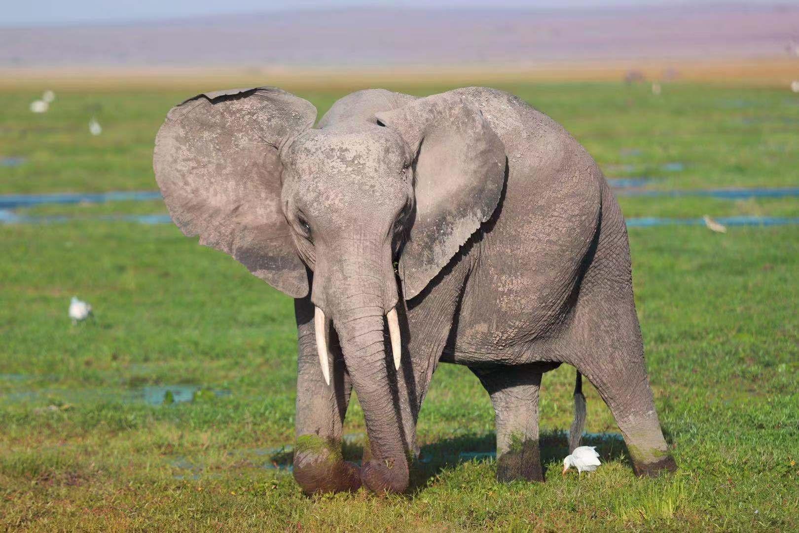 安博塞利大象.jpg