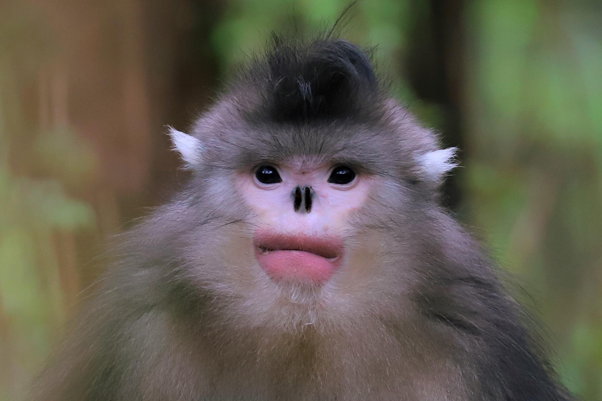 滇金丝猴.jpg