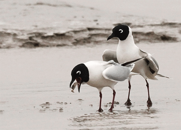 图17-在潮间带觅食的黑嘴鸥-摄影:张天迎.png