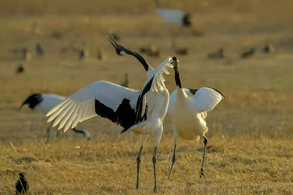 图7-盐城珍禽(丹顶鹤)国家级自然保护区.png