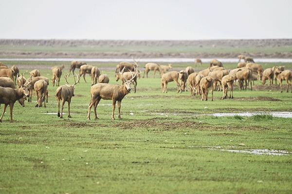 图6-大丰麋鹿国家级自然保护区.png