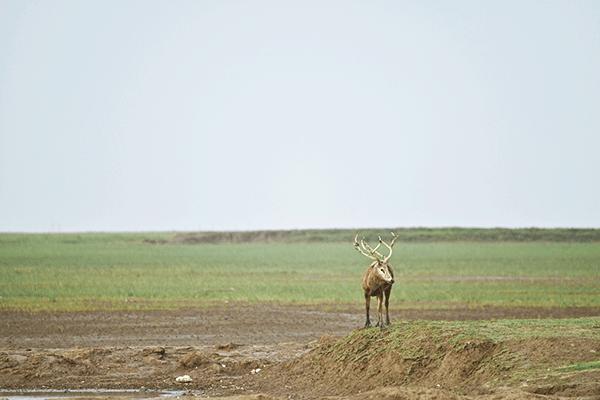 图10-麋鹿-摄影:李永浩.png