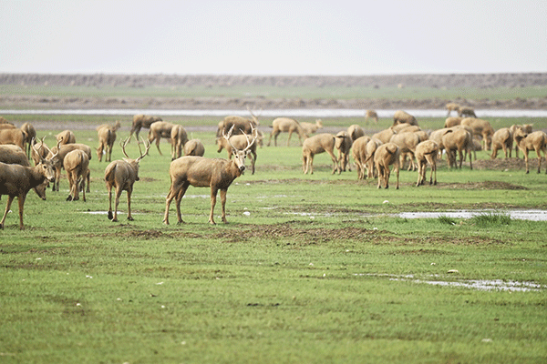 图30-麋鹿-摄影:李永浩.png